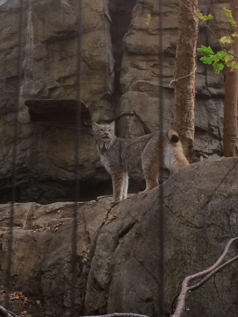 un lynx : grande beauté !!!