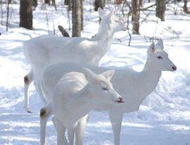 3. daims blancs