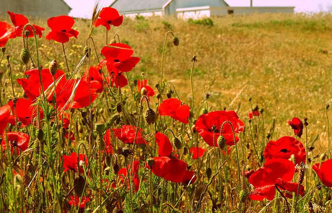 Coquelicots a Hoedic