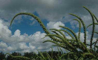 Danger  écologique : La super-mauvaise-herbe américaine qui pourrait être sélectionnée par le TTIP de Monsanto