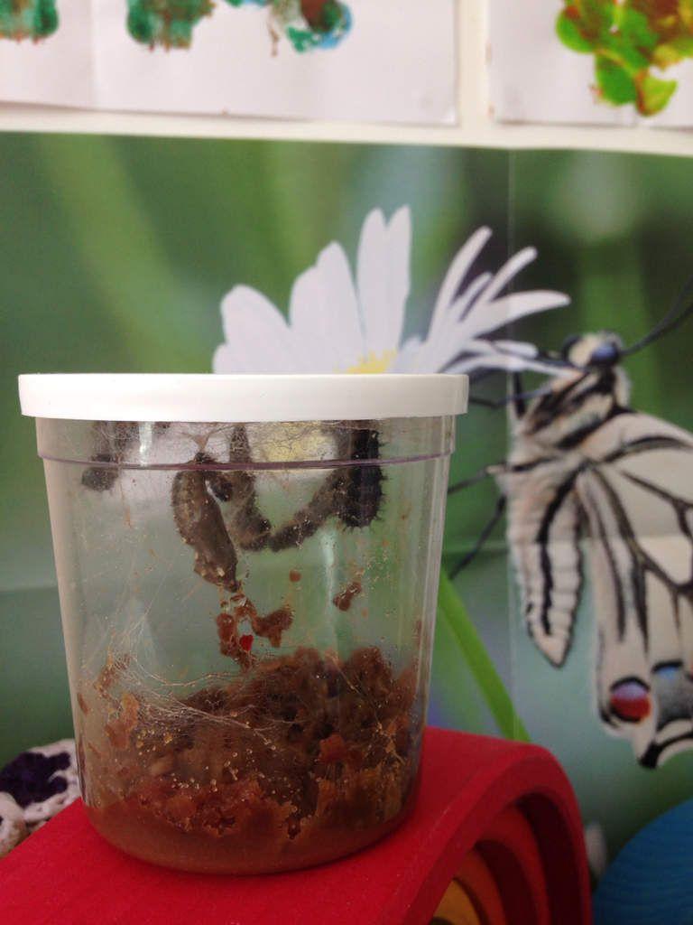 Retour sur notre expérience d'élevage de papillons