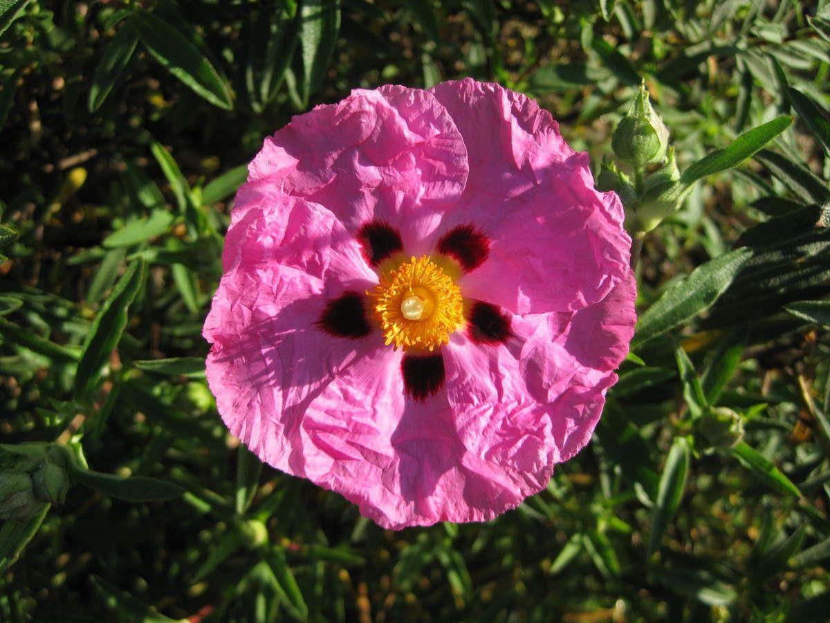 Ciste purpureus