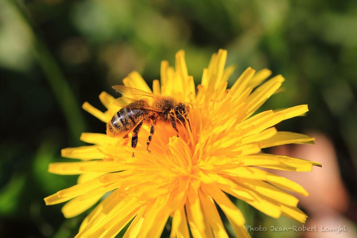 une abeille gourmande, couverte de pollen de pissenlit