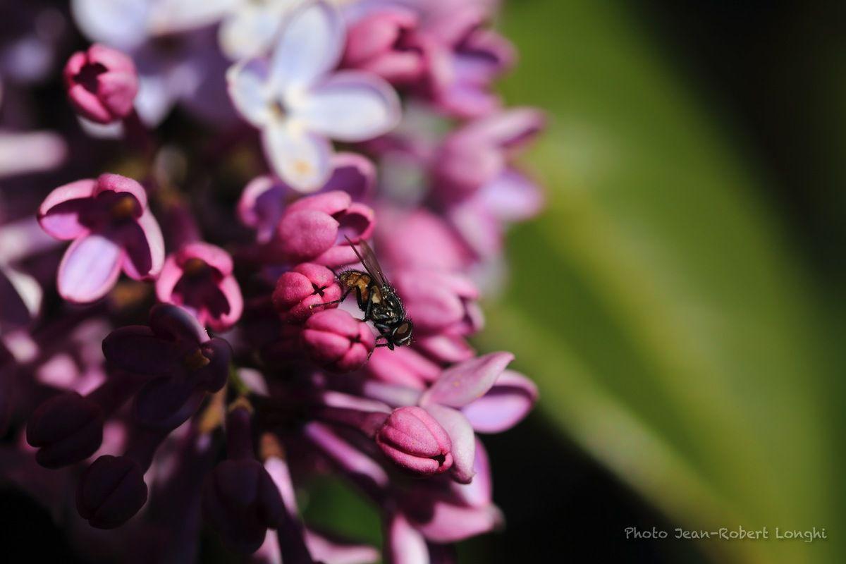 Un syrphe parmi les abeilles