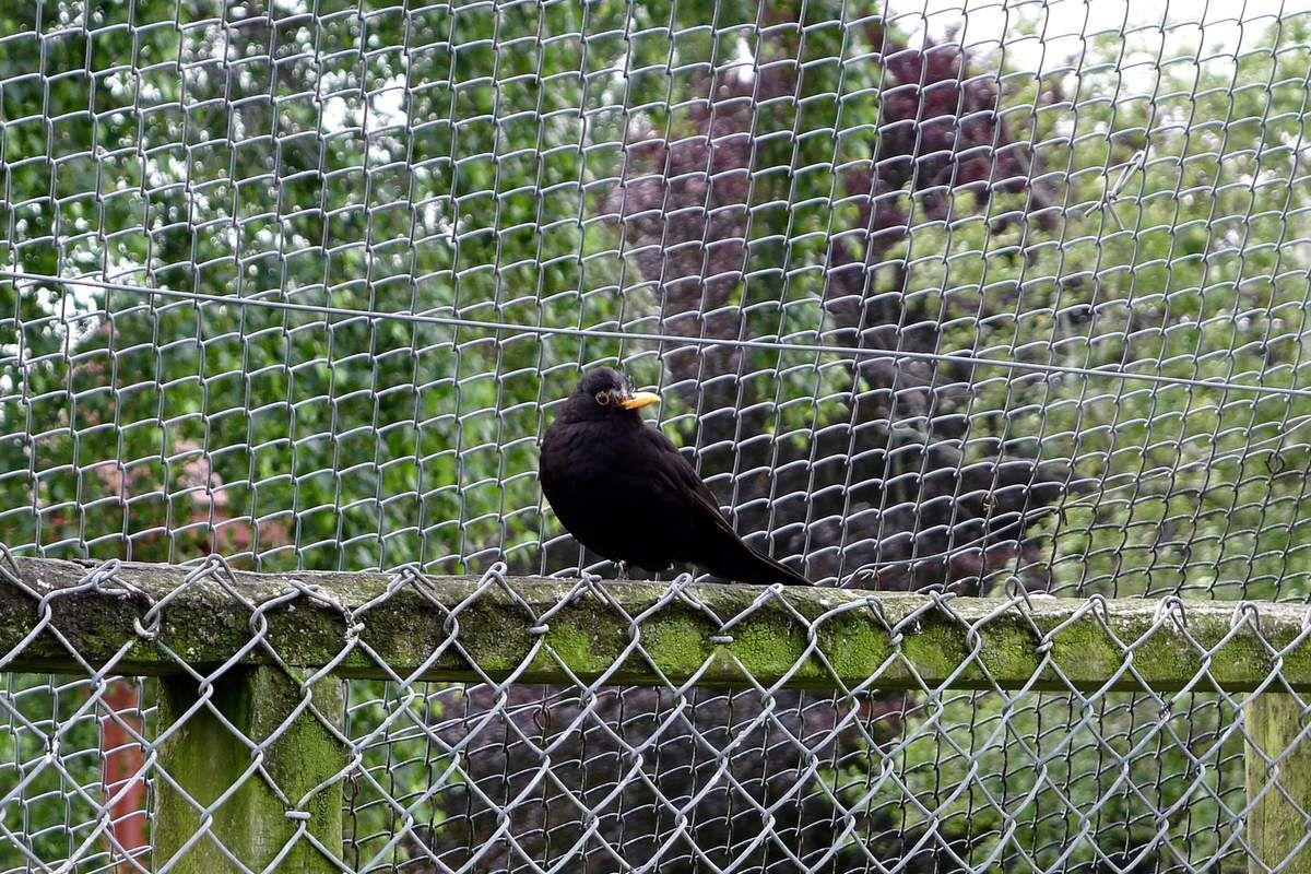 Le merle (blackbird). Introduit. Fort semblable au nôtre, avec un oeil peut-être un plus malicieux encore. Le chant territorial du mâle est là aussi un régal.