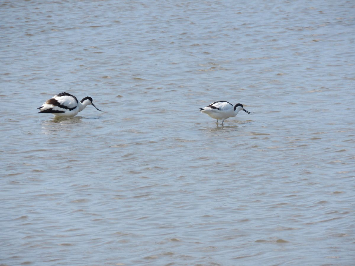 Un couple d'Avocette.
