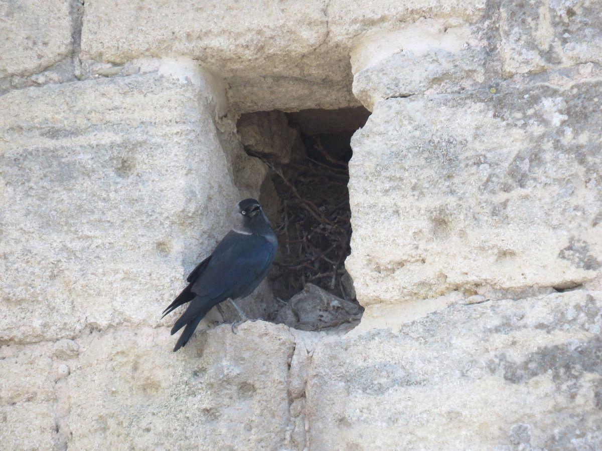 Sur les remparts d'Aigues-Mortes des Choucas des Tours ont élu domicile.
