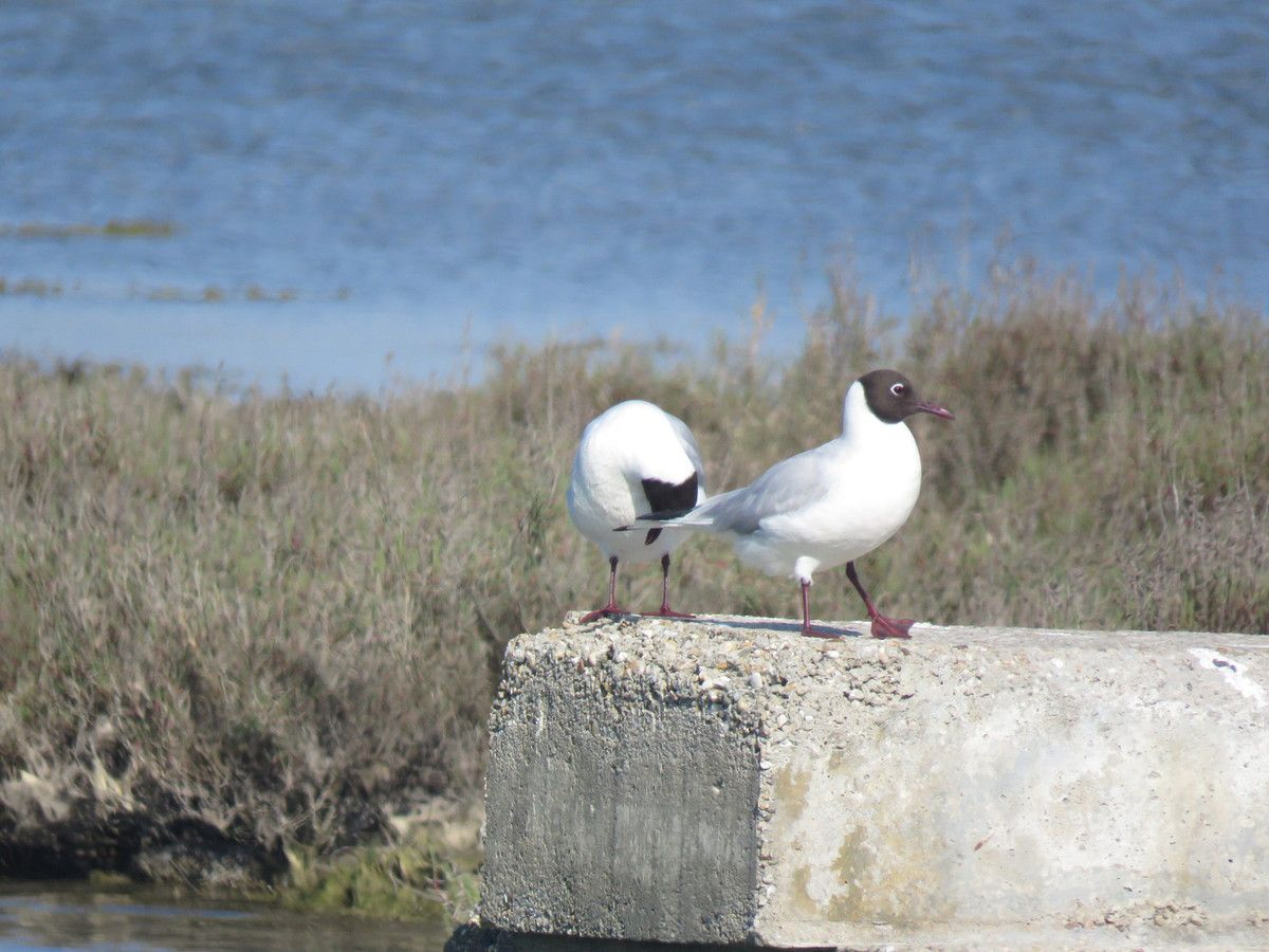 Un couple de Mouette rieuse.