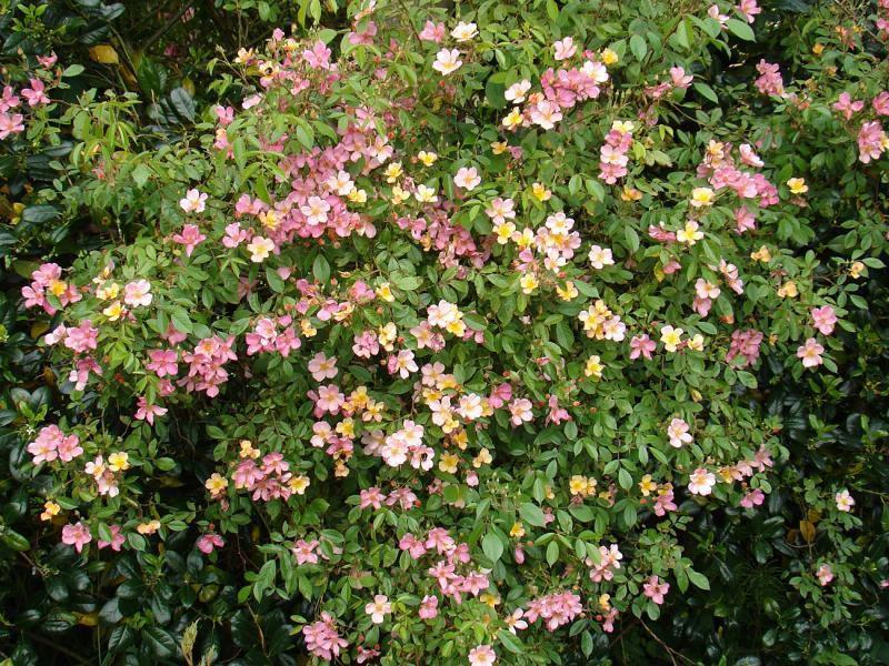 PLAISANTERIE® Lentrimera Pétales de roses