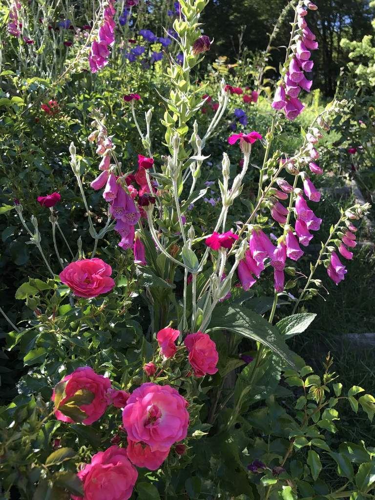 Marier les roses et les plantes à papillons