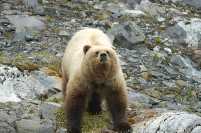 (Ours brun à Glacier Bay, photo US National Park Service, www.nps.gov)