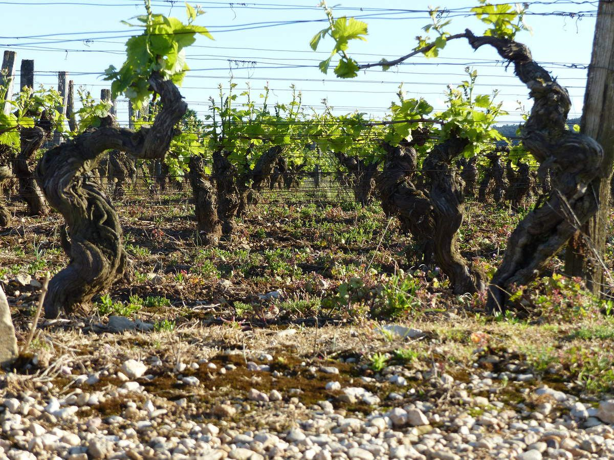 Vignes a Brochon / Brochon vineyard