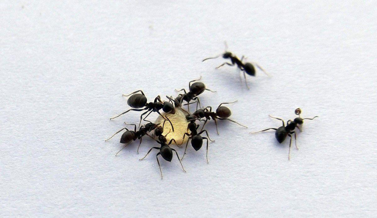 Lasius sp noire niger