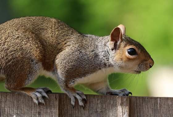 Columbia Squirrel Removal Company