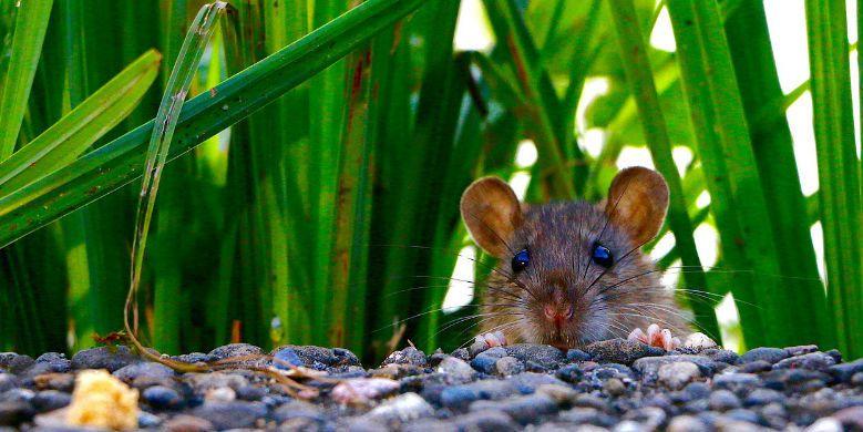 Combattre les souris pour son bien-etre