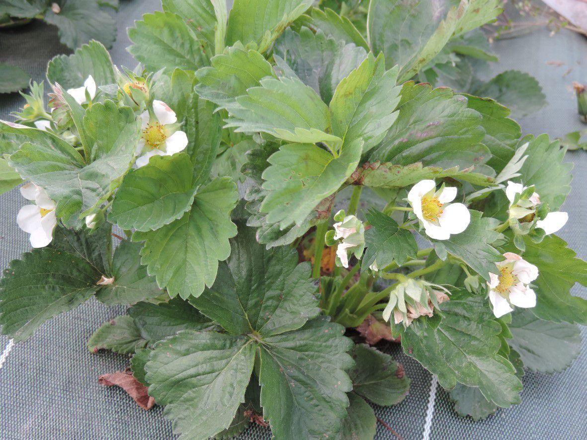 Les fraisiers bien fleuris !