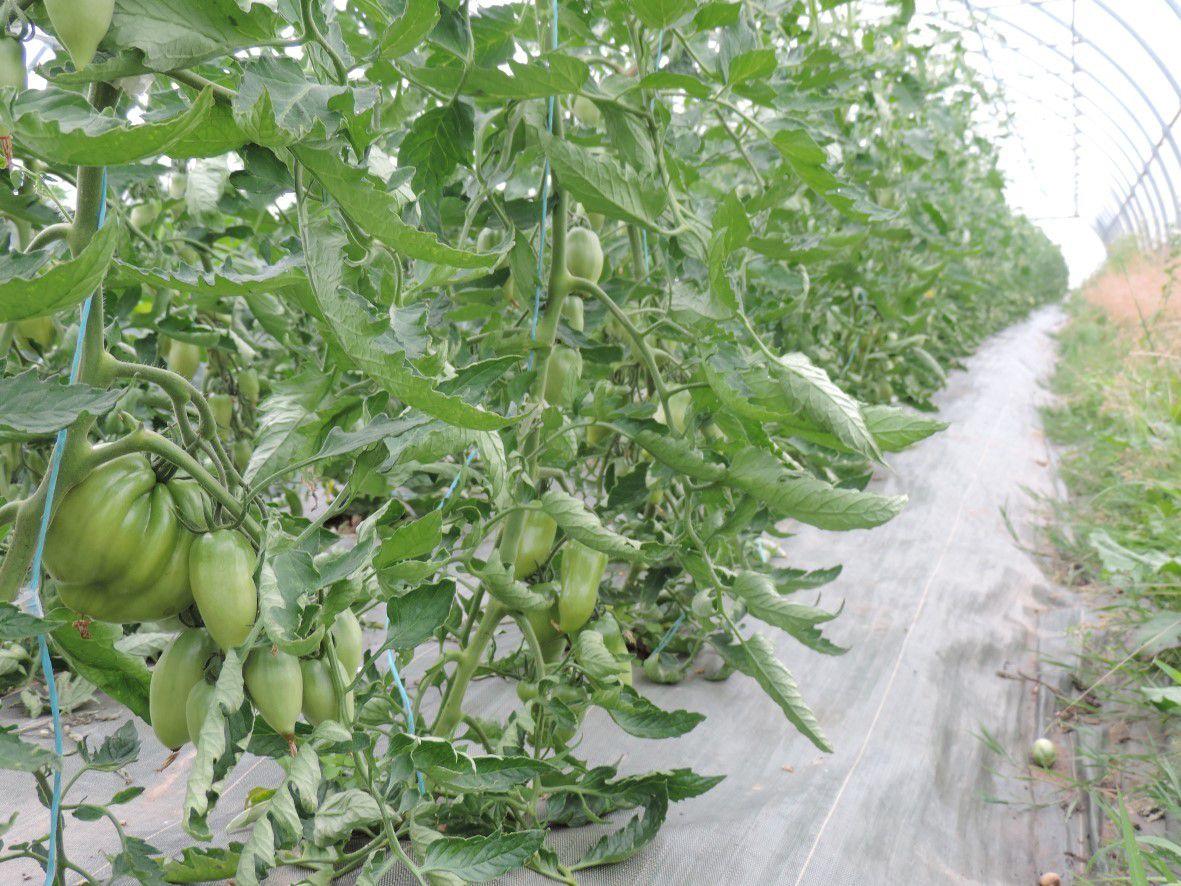 Les tomates, courgettes et melons se sont fortement développés au cours du mois de mai qui a été particulièrement chaud et ensoleillé. La récolte des courgettes a débuté fin mai.