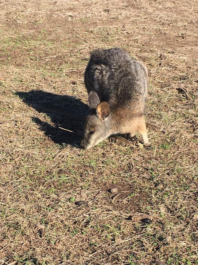 Un wallaby, petit cousin du kangourou...