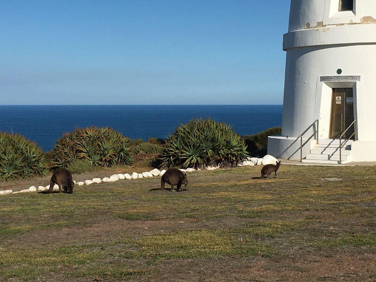 Famille de kangourous dans la cour du phare butinant allègrement !