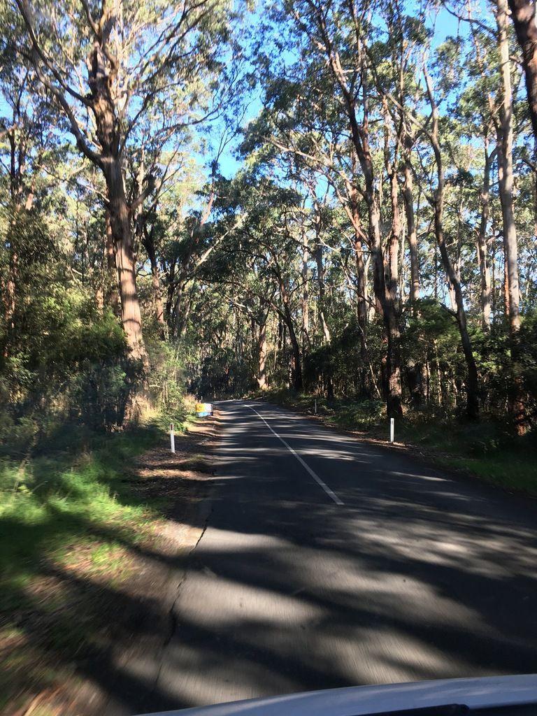 Forêt d'eucalyptus géants