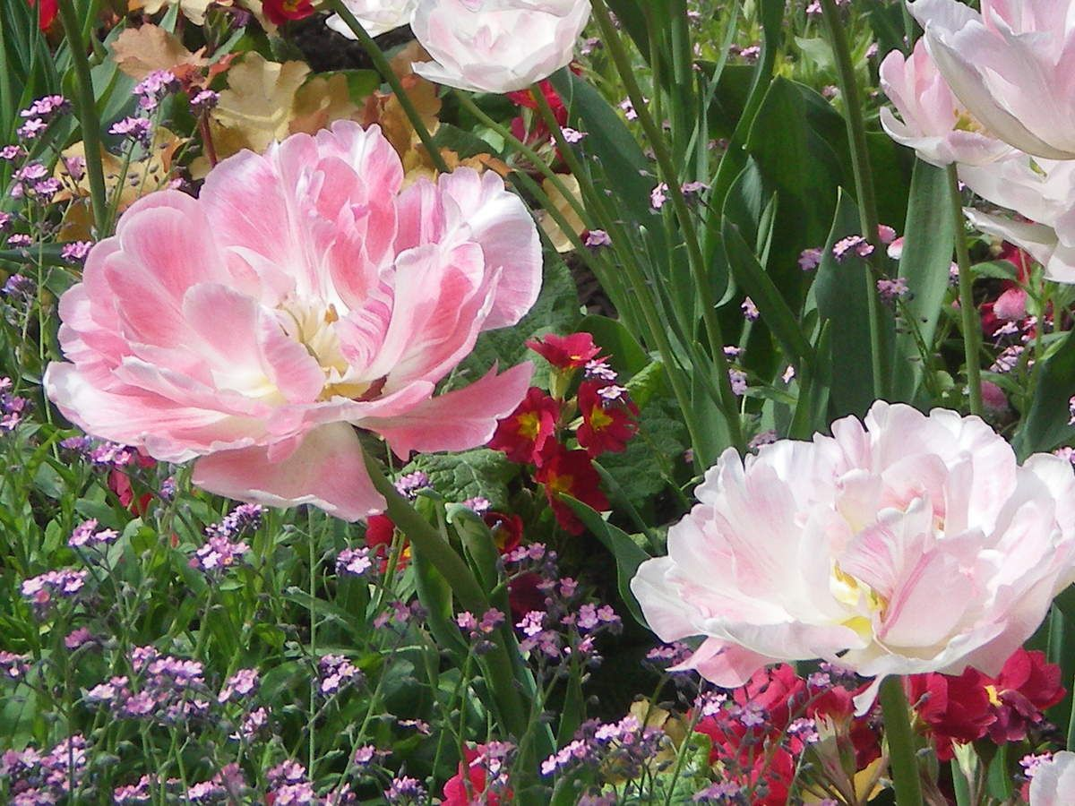 Impressions de Tulipes