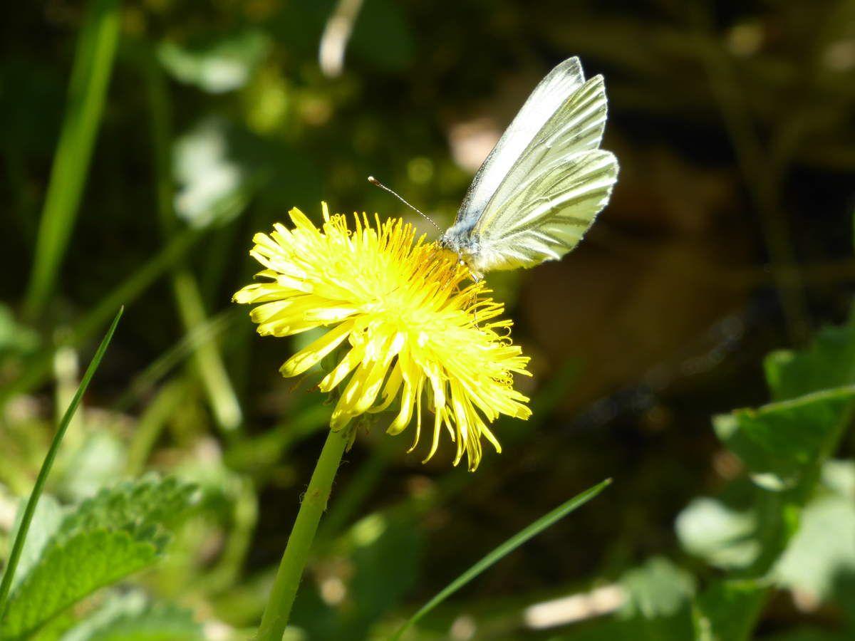 Le bal des papillons