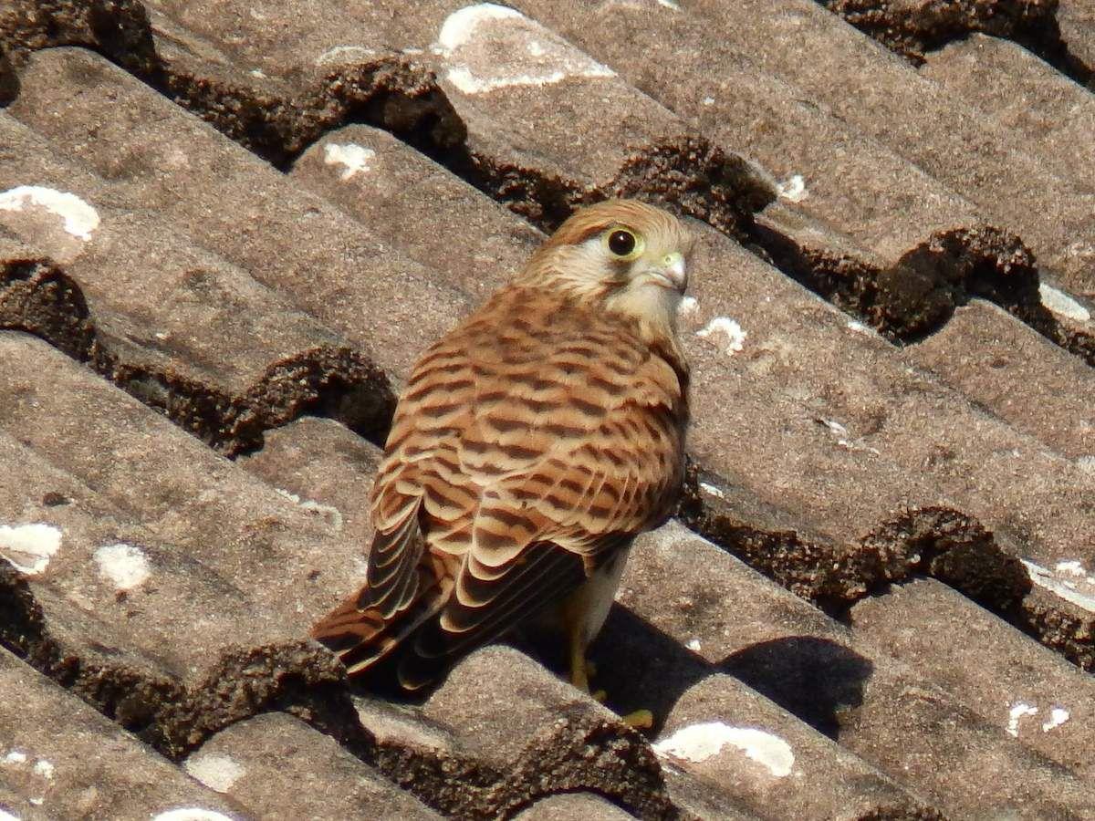 """Mais """"l'épervier européen"""" veille sur le toit, et son œil en dit long..."""