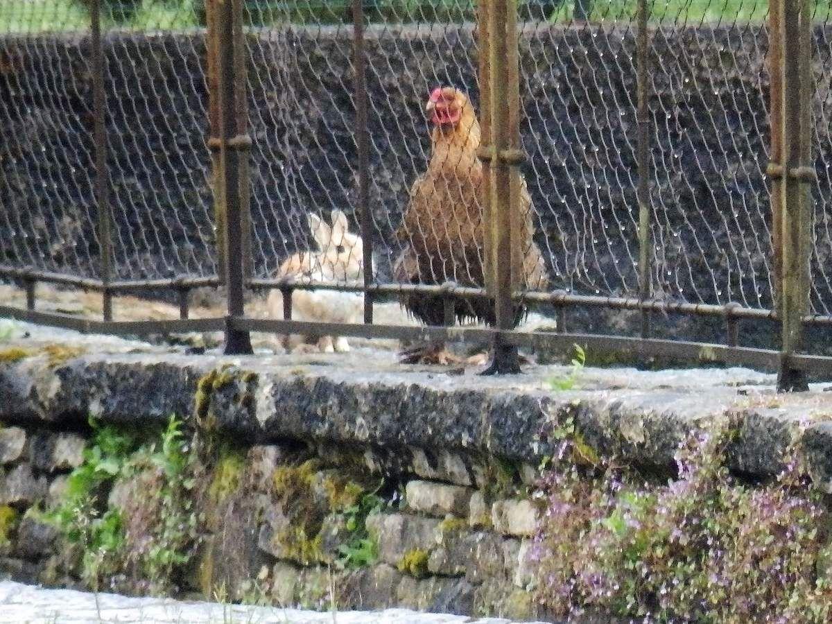 ...sous le regard admiratif de la poule et du lapin restés douillettement captifs...