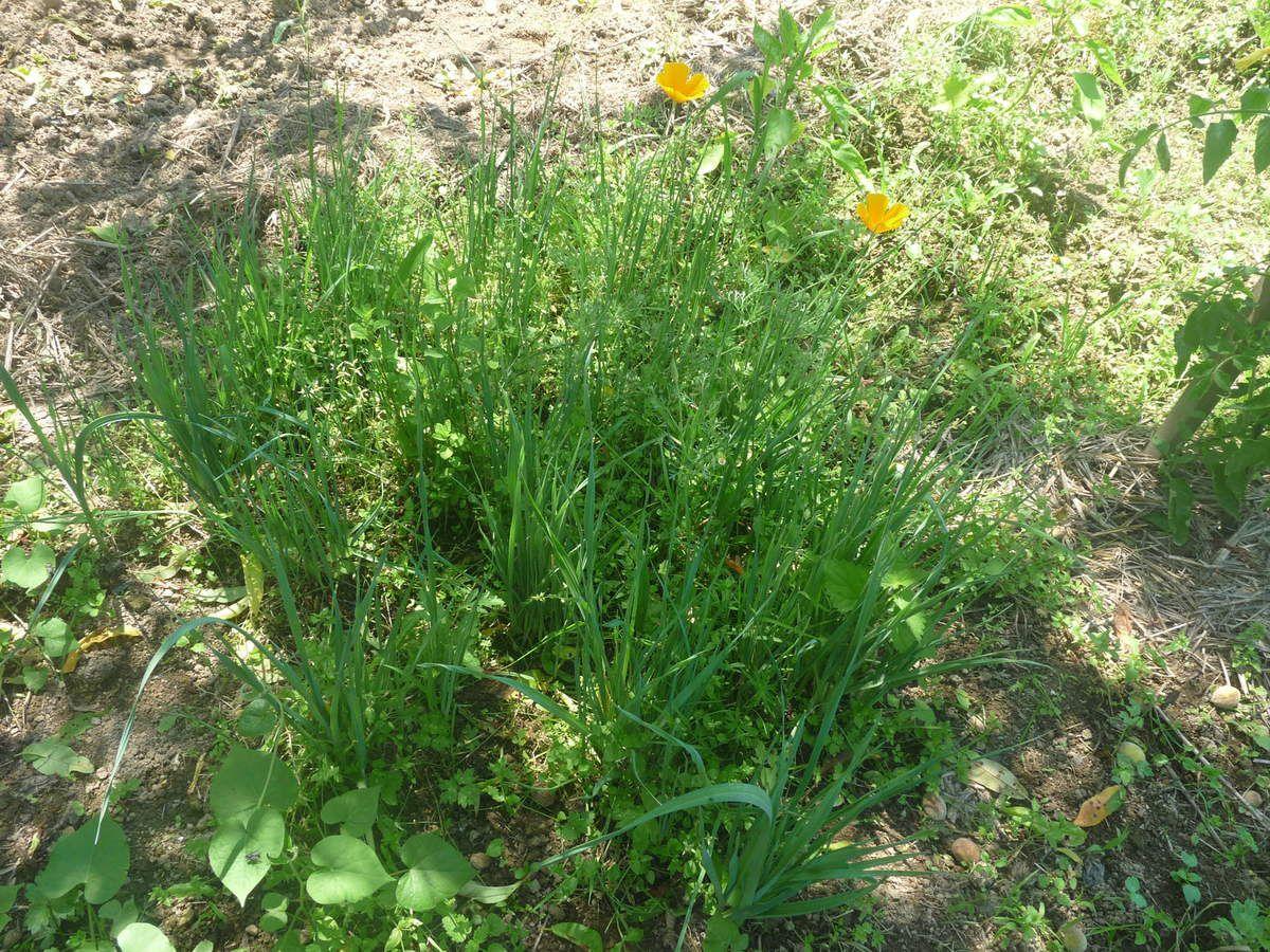 Les poireaux le jardin de minikou - Quand repiquer les poireaux ...