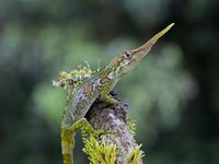 Teams of researchers from Harvard and the University of New Mexico, working with colleagues in Ecuador, have shed new light on the behavior of the proboscis anole, a lizard once known by just six specimens worldwide, and thought to be close to extinction. Their work is described in two recent papers in Breviora, the journal of Harvard's Museum of Comparative Zoology. Photo by Jonathan Losos