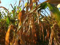 blé et trèfle --> colza et trèfle --> haricots tarbais et maïs