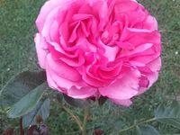 'La Rose de Molinard' et 'Pacdific Dream'