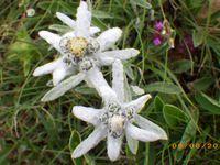trèfle alpin, Aster des Alpes,Orchis vanille, alchemille, gentiane de Koch, gentiane printanière, edelweiss, cirse épineux, joubarbe