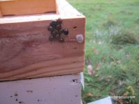 Elles se sont placées dans l'interstice entre le toit et le couvre-cadre nourrisseur des ruchettes. Les araignées profites elles aussi de ce petit espace