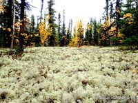 Thé de L'Alaska, champignons, lichens, trace de loup, d'ours...La nature est riche de végétaux