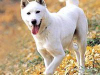 Le chien de Jindo (진돗개)