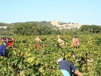 Vendanges 2013 : Syrah sur Chateauneuf-du-Pape