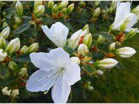 Album - Fleurs des tropiques photos GeoMar©  Fleurs des zones Tempérées