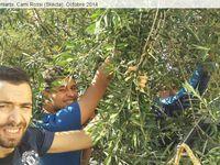 Quai...La Cueillette des olives à Cami Rossi (Skikda)