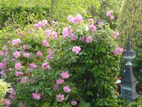 Rosiers 1-Sophie s'perpétual (florifère) 2- Cécile brunner (petite rose ,florifère) 3-Trésor de torigny(aucun défaut)