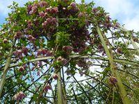 Clématites:1-Cyrrhosa baléarica freckles (floraison et feuillage persistant) 2-Kacper (floraison et remontée) 3-Integrifolia durandii (herbacée très florifère)