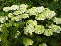 Hydrangéas:1-Quercfolia Harmony (floraison majestueuse) 2-Serrata Tiara (floraison précoce) 3-Macrophylla Jade (floraison verte puis blanche puis lie de vin )