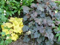 cerinthe,heuchère,acer,le rosier Banksiae lutéa,ancolie au feuillage jaune