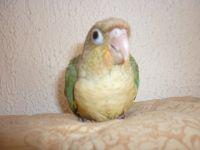 les petits de Wallis et Java au nid, 1 turquoise et 3 turquoise opaline, une petite femelle ananas bleu EAM,1 femelle turquoise opaline EAM,1 femelle bleue EAM