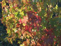 Les feuilles mortes........