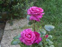 Une rose, un jour : Chartreuse de Parme