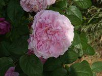 Une rose, un jour : Mary Rose