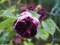Une rose, un jour : Cardinal de Richelieu
