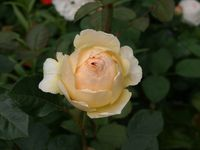 Une rose, un jour : Jude the obscure