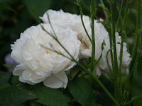 Une rose, un jour : Winchester cathedral